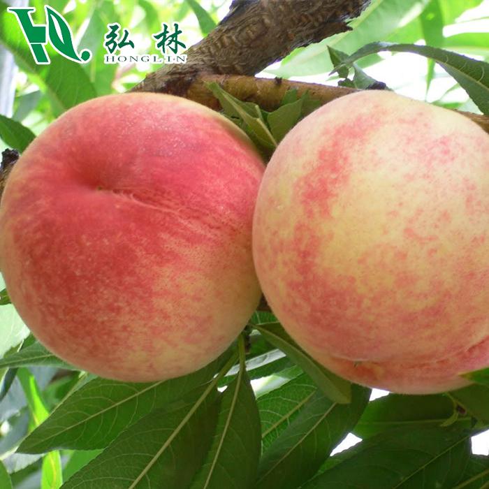 【顺丰配送】 陕西水蜜仙桃9颗装 每颗350克 礼盒装